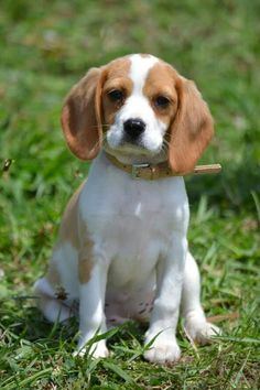 Beagliers For Sale In Muswellbrook Nsw Beagliers Feathers Fur