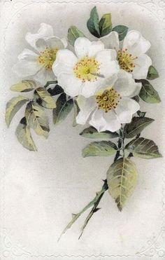 Белый шиповник-1.jpg (381×600)