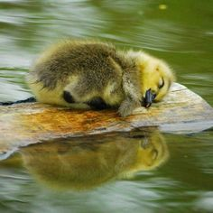 Sleeping baby duck! Float away and dream on.