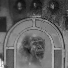 Behind Glass, black and white photographs of primates