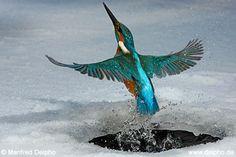 Tres peces. Dos intentos. Un pájaro.  El martín pescador se sumerge a 100 kilómetros por hora en este pequeño agujero en el hielo del río Hessen (Alemania).   Tuvo suerte y capturó tres peces en su segundo intento.   Una pequeña parte de su trabajo diario. Estas aves pueden llegar a pescar 80 peces al día.