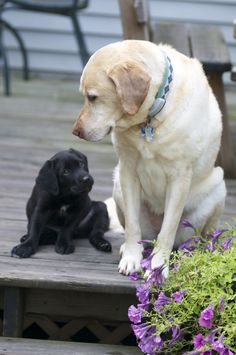 Yellow lab looks just like our old dog!