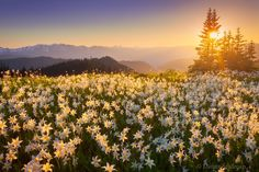 High Above the Valleys - Avalanche lilies putting on a display in the subalpine meadows of the Olympic Mountains.  www.northwestcapture.com