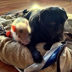 The pig & the pug. OMG All that know me, would know how MUCH I love this picture!!
