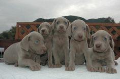 Cute Weimaraner puppies! <3