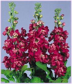 Şebboy Çiçeğinin Bakımı ve Yetiştirilmesi - Sayfa 2 - Forum Gerçek