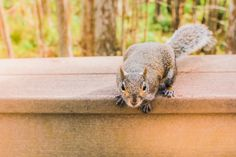 Yes, squirrels can climb your walls. There are many different kinds of things that can happen if a squirrel decides to make its home in your walls. Flying Squirrel, Baby Squirrel, Where Do Squirrels Live, How To Care Baby, Animal Control, Rodents, Mans Best Friend, Dog Owners, Mammals