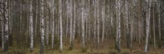 Silver Birch Trees in a Forest, Narke, Sweden Photographic Print by Panoramic Images at Art.com