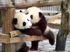Of The Warmest, Sweetest Bear Hugs Panda Babies.pandas are freaking hilariously goofy.everything they do is one big awwww :) - McGPanda Babies.pandas are freaking hilariously goofy.everything they do is one big awwww :) - McG Animals Kissing, Animals And Pets, Baby Animals, Funny Animals, Cute Animals, Baby Pandas, Panda Babies, Giant Pandas, Wild Animals