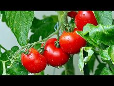 Growing Vegetables Indoors, Easy Vegetables To Grow, Growing Tomatoes In Containers, Fruits And Vegetables, Grow Tomatoes, Tomato Fertilizer, Tomato Face, Deer Resistant Plants, Tomato Plants