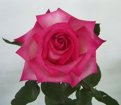 Hybrid Tea Rose 'Signature'