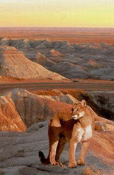 Lion - Badlands, South Dakota
