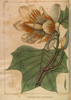 Botanical illustration from Barton's Medicinal Plants-Botanical Art in the Late 18th and Early 19th Centuries