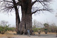 Baobab Tree in Chobe National Park