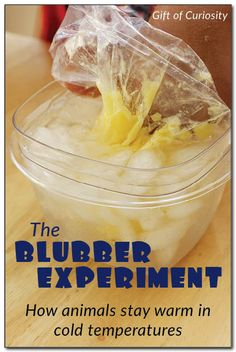 animals stay warm - Gift of Curiosity The Blubber Experiment: This simple experiment lets kids experience for themselves how blubber keeps an animal warm in cold temperatures Science Activities For Kids, Animal Activities, Kindergarten Science, Science Lessons, Winter Activities, Teaching Science, Science Education, Science Projects, Life Science