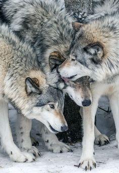 A little wolf love to go around! Beautiful Wolves, Beautiful Dogs, Animals Beautiful, Cute Animals, Wild Animals, Baby Animals, Wolf Photos, Wolf Pictures, Wolf Spirit
