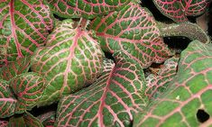 Fitonia: la planta más común para el salón de tu casa