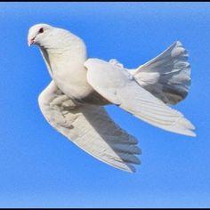 "@guvercinlerhakkindahersey posted on their Instagram profile: ""Görsel. Maşallah 🧿 #taklaci #taklacı #taklacıgüvercin #taklaciguvercin #hayvan #hayvanlaralemi…"" Dove Set, Bird, Animals, Instagram, Animales, Animaux, Birds, Animal, Animais"