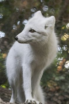 Arctic Fox at Lookout   Flickr - Photo Sharing!