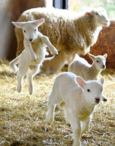 Cabras Animal, Mundo Animal, Cute Baby Animals, Farm Animals, Animals And Pets, Oriental Cat, Cute Sheep, Sheep And Lamb, Baby Goats