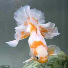Tosakin goldfish 土佐錦 - Google 検索 #tropicalfishaquariumideas #tropicalfishkeeping