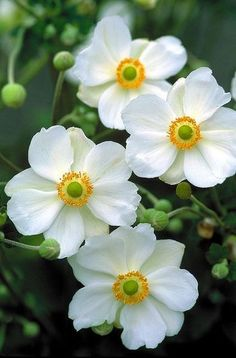 "Anemone sylvestris (Snowdrop Anemone). Zone: 3-7 S / 3-9 W. Height: 18"". Deer Resistant:  Full or Part Sun. Blooms In: May, Sept"