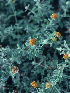 Baja Fairy Duster Seeds Shrub Bush Desert Plant