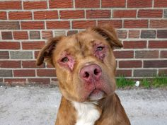 TO BE DESTROYED - 04/26/14 Brooklyn Center   DILLION - A0996613   MALE, BROWN / WHITE, LABRADOR RETR / PIT BULL, 10 mos STRAY - STRAY WAIT, NO HOLD Reason STRAY Intake condition NONE Intake Date 04/14/2014, From NY 11208, DueOut Date 04/17/2014, Medical Behavior Evaluation GREEN https://www.facebook.com/photo.php?fbid=787447277934820&set=a.617941078218775.1073741869.152876678058553&type=3&theater