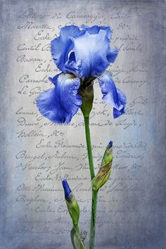 Blue Bearded Iris