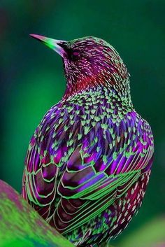 Amaranthine ~ looks like a starling to me; just thought I would throw this beautiful bird in with these gorgeous colors.