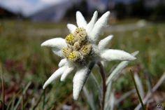 Alpine Flowers, Alpine Plants, White Flowers, Beautiful Flowers, Tirol Austria, Edelweiss, Summer Cabins, Flower Symbol, Special Flowers