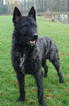 Dutch Sjepherd Dog - Wire Haired