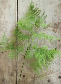 plumosa fern - might be better than the amaranthus - definitely lighter