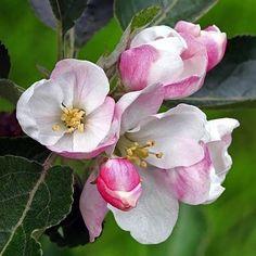 Apple Flowers, Red Flowers, Spring Flowers, Full Sun Plants, Special Flowers, Flower Branch, Magnolia Flower, White Lilies, Plant Illustration