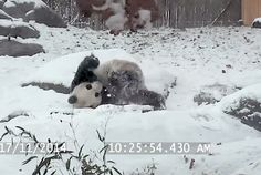 The Toronto Zoo recently had a big snowfall, and their giant Panda named Da Mao took full advantage of all of the fluffy winter fun! Some animals just love the snow! Watch this dog show us all how to sled on four paws! How do your pets react to snow? Catch them on tape and …