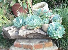 Gnarled tree trunks or limbs as planters for succulents