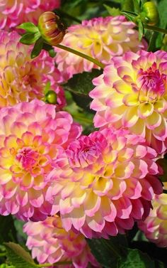 Dahlias - another fav - how can u not love such a perfectly formed flower Cut Flower Garden, My Flower, Flower Power, Exotic Flowers, Beautiful Flowers, Dahlia Flowers, Roses, Country Cottage Garden, Gum Paste Flowers