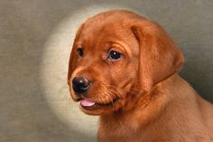 SOUTHWIND LABRADORS have both Fox Red and yellow lab puppies for sale. Our fox Red puppies are brilliant red and our yellow puppies are usually yellow with red highlights.