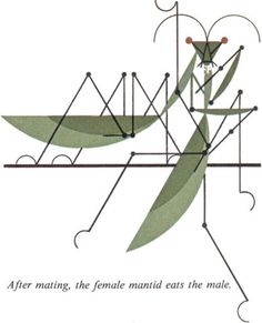 after maiting, the female mantid eats the male