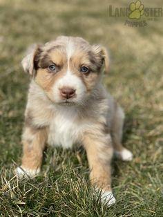 #AustralianShepherd #Aussie #Charming #PinterestPuppies #PuppiesOfPinterest #Puppy #Puppies #Pups #Pup #Funloving #Sweet #PuppyLove #Cute #Cuddly #Adorable #ForTheLoveOfADog #MansBestFriend #Animals #Dog #Pet #Pets #ChildrenFriendly #PuppyandChildren #ChildandPuppy #LancasterPuppies www.LancasterPuppies.com Dog Love, Puppy Love, Australian Shepherd Puppies, Lancaster Puppies, Animals Dog, Puppies For Sale, Mans Best Friend, Corgi, Pets