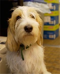 Close up front view upper body shot - A white with tan Petit Basset Griffon Vendeen is sitting on a floor in an office looking forward.
