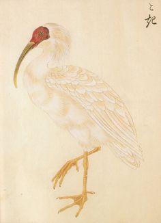 Japanese Crested Ibis -  トキ  森立之 1861
