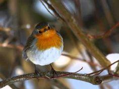 Rougegorge familier - YouTube Bird, Animals, Animais, Animales, Animaux, Birds, Animal, Dieren, Birdwatching