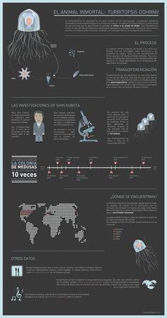 El animal inmortal: Turritopsis Dohrnii - #infografia