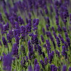 Possibly the best lavender for edging paths and borders - Lavandula angustifolia 'Hidcote'. Compact and low-maintenance - ideal for a small garden