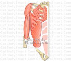 diagrams arm muscles diagram nice post pinterest. Black Bedroom Furniture Sets. Home Design Ideas