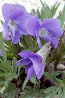 VIOLA PEDATIFIDA | Prairie Violet Native Wildflower Seeds