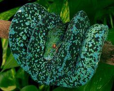 """""""Ella Diablo"""" - Green Tree Python Morph"""