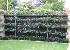 """What to do when you are facedwith a blank wall,  but you want fruit trees?  Why - just use the ancienttechnique of espalier!  The word """"espalier"""" is French, but originates from  the Italian word """"spalliera"""" meaning  """"something to rest the shoulder (spalla) against"""".  Perfect description! Even plants must get tired.  The technique is possibly thousands of years old,  although the term """"espalier"""" dates from the 17th century.  Essentially, it means training trees to grow  with horizontal…"""