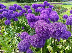 """Purple Fireworks"" Allium Globes In Full Splendour at Queen Elizabeth Park in Vancouver BC 06Jun2012"